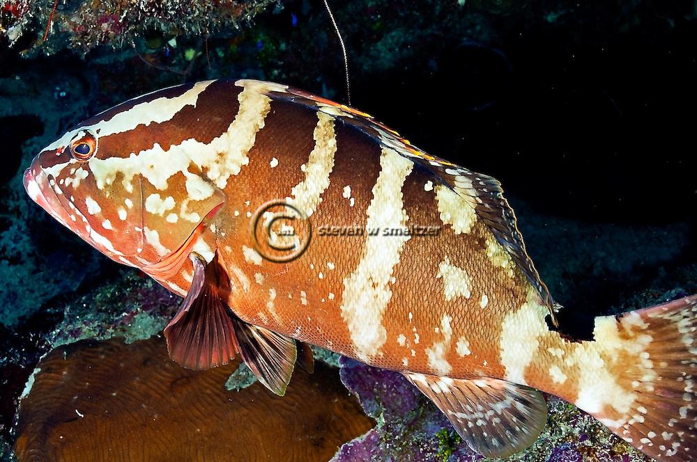 Nassau Grouper, Epinephelus striatus, Grand Cayman