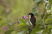 Black-capped Donocobius<br /> Donocobius atricapillus<br /> Pantanal, Brazil