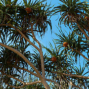 Screw Pine and fruit, Kenting, Pingtung County, Taiwan