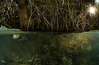 """A large female green anaconda (Eunectes murinus) hides underwater in a river bank in Bonito, Mato Grosso Sul, Brazil. Photographed while filming Tales by Light, Season 2, Episode 3, """"Misunderstood Predators"""", for Netflix and National Geographic Australia. August, 2016."""