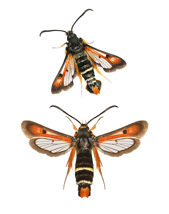 Fiery Clearwing - Pyropteron chrysidiformis<br /> 52.015 BF384