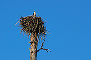 An osprey nesting in a western larch on F.H. Stoltze Land & Lumber Co. property in the Haskill Basin. Flathead County, Montana.