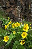 Arrowleaf Balsamroot (Balsamorhiza sagittata) Columbia Plateau Washington