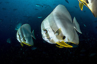 Spadefish in the deep<br /> <br /> Shot in Raja Ampat Marine Protected Area West Papua Province, Indonesia