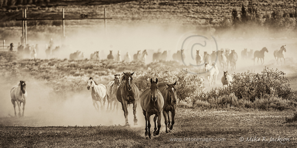 A large herd of trail horses returning to the corrals for another day on the trails.
