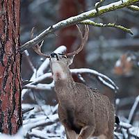 muledeer buck winter reaching streaching to eat fir pine and lichen from trees