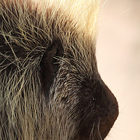 A close-up portrait of a North American Porcupine, Erethizon dorsatum, also called the Common Porcupine or the Canadian Porcupine. Turtleback Zoo, West Orange, New Jersey, USA