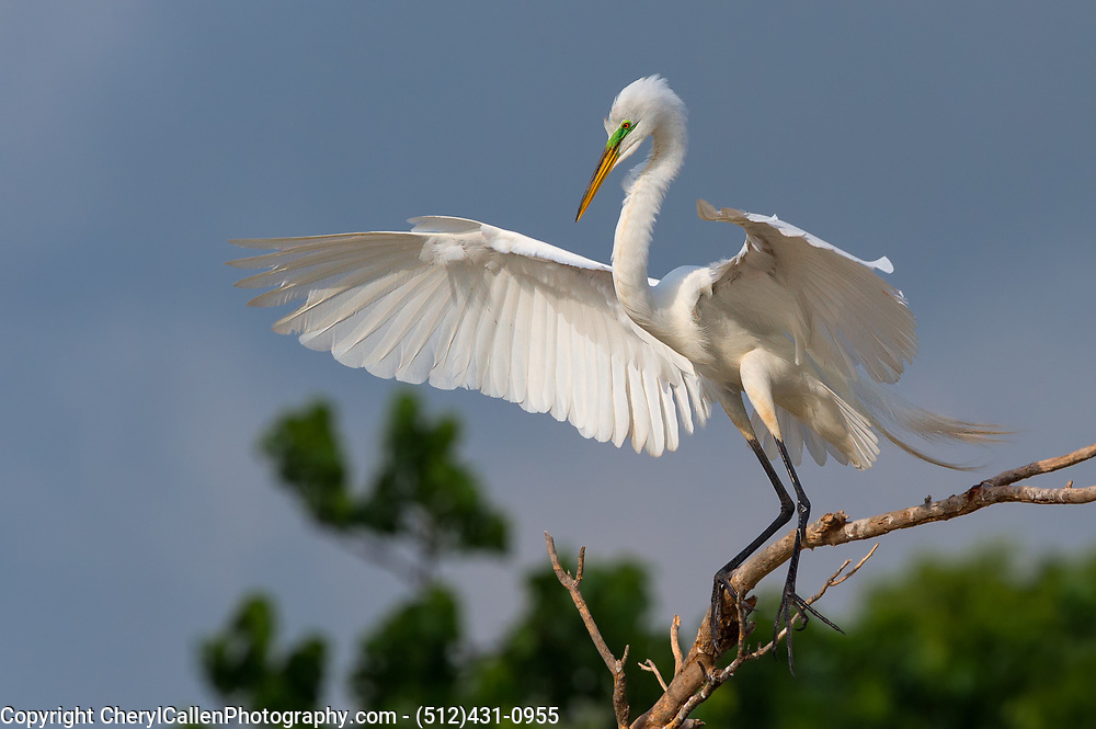 Great Egret displaying his wings