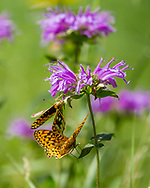 Fritillary butterfly flies to horsemint blossoms where another is perched, with mutual interest apparent, mountain meadow, Jemez Mountains, NM. © 2010 David A. Ponton