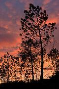 Pine tree silhouettes at twilight.