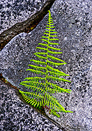 Close-up of fern in rock triangles on Highland Scenic Highway, West Virginia