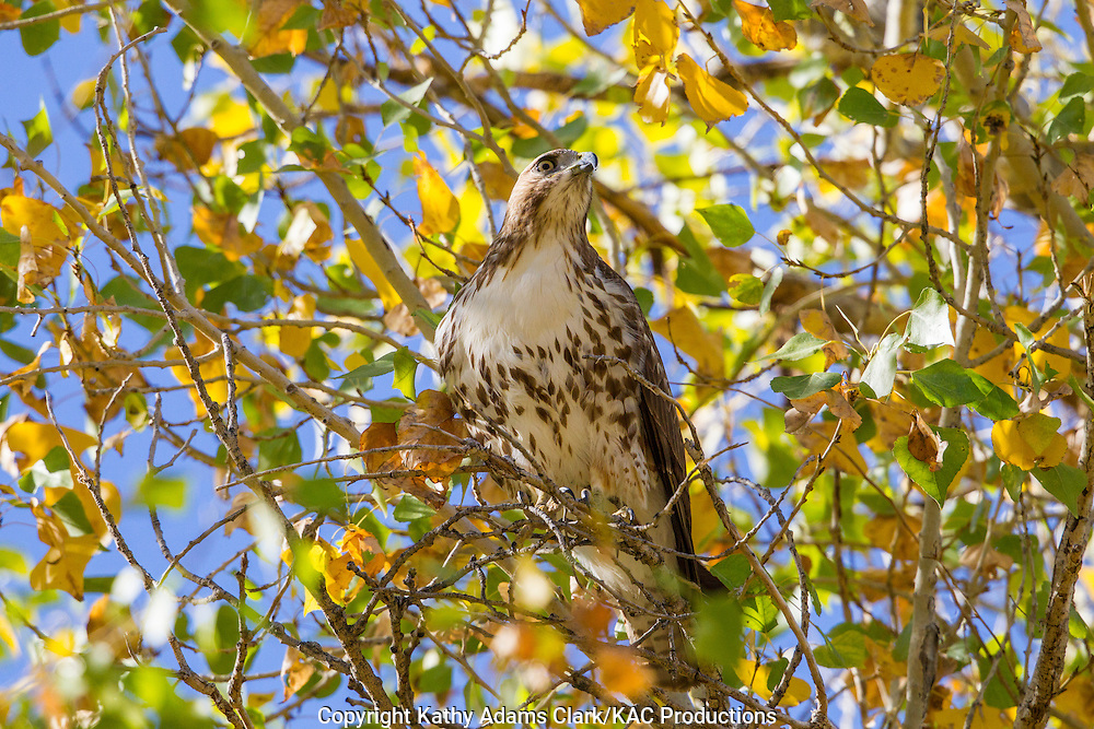 Red-tailed hawk, Buteo jamaicensis, autumn, cottonwood tree, Big Bend National Park, Chihuahuan Desert, west Texas