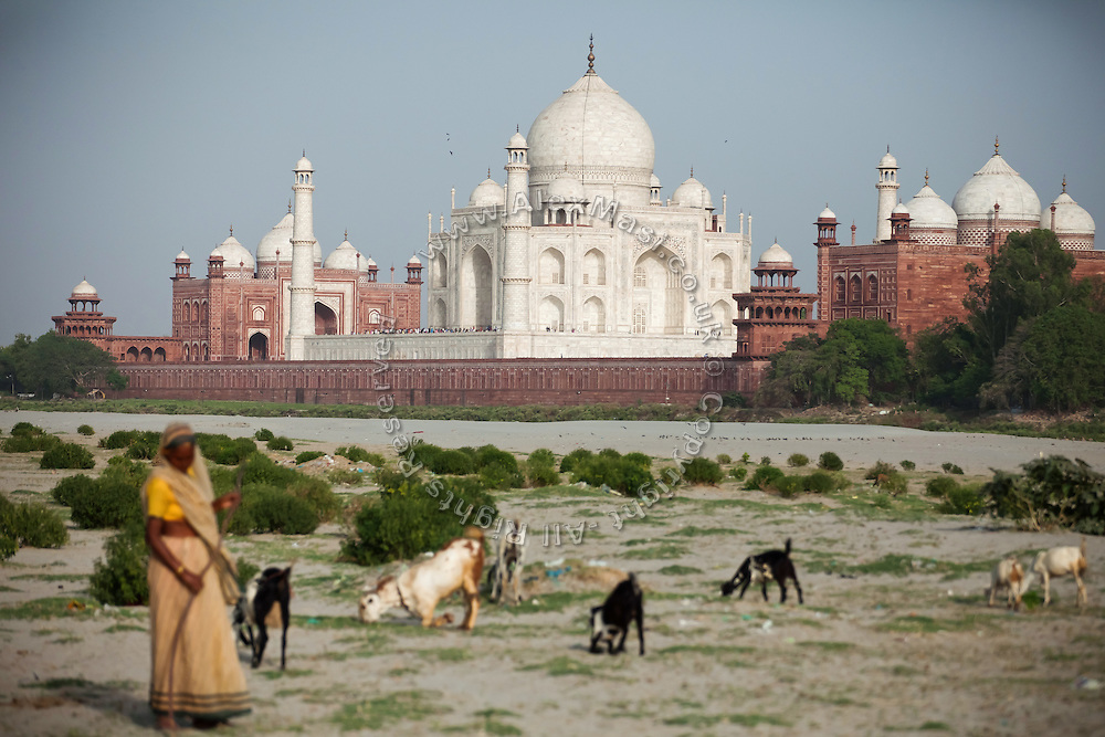 A woman pastor is standing with her goats over the sands created by the low summer flow of the heavily polluted Yamuna River, across a view of the Taj Mahal, in Agra.