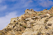 Bighorn sheep on cliffs at the Upper Missouri River Breaks National Monument, Montana, USA