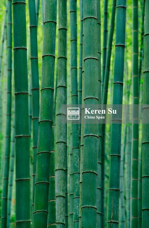 Bamboo forest, Zhejiang Province, China