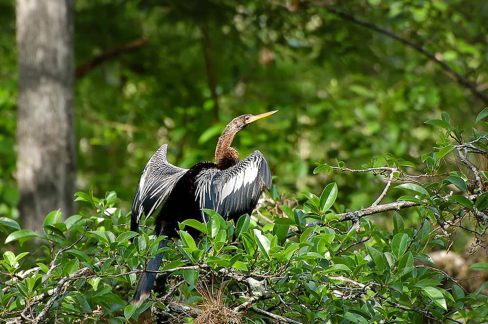 Also known as the snakebird, the anhinga is a common fish-eating bird found along the coasts and interior of Florida. This male was in wait in a wild cocoplum while hunting near the Sweetwater Strand near Naples, Florida.