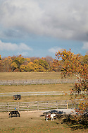 Goshen, New York - Horses graze in the fields at WillsWay Equestrian Center on Oct. 21, 2016.