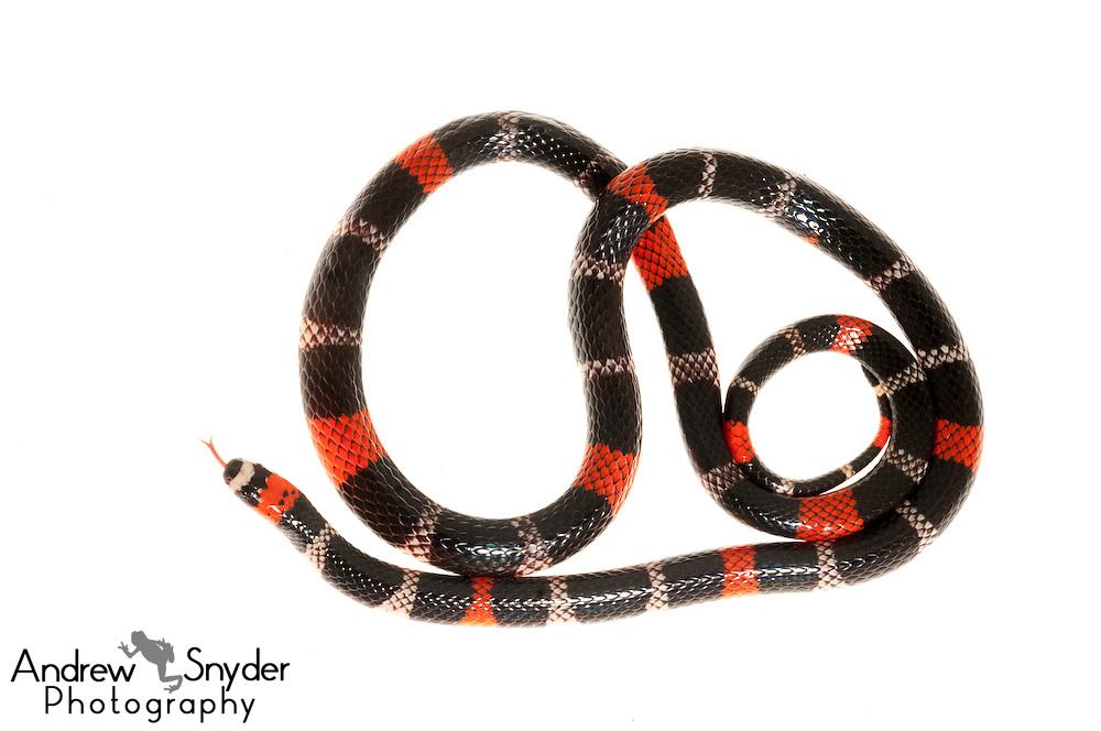 South American Coral snake (Micrurus lemniscatus) - Kanuku Mountains, Guyana.