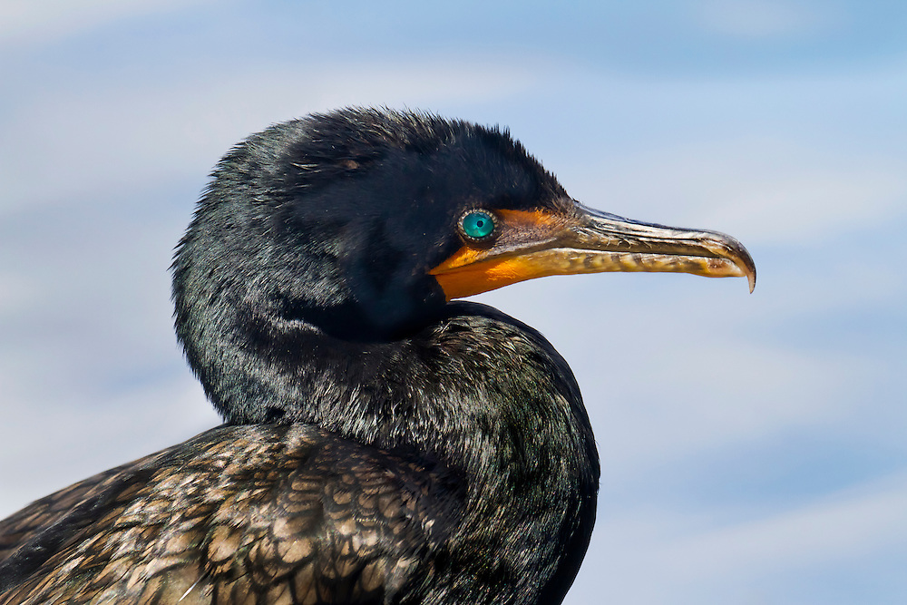 A double crested cormormant posing for the camera on a warm Summer day at the lake.