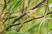 Reed warbler in a tree near the North Hide at Westhay Moor.
