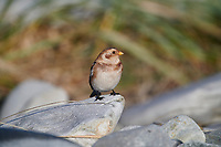 Snow Bunting (Plectrophenax nivalis) in winter plumage on beach, Cherry Hill Beach, , Nova Scotia, Canada,