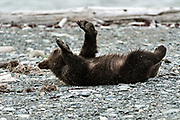 A Brown bear cub rolls around on the beach at the McNeil River State Game Sanctuary on the Kenai Peninsula, Alaska. The remote site is accessed only with a special permit and is the world's largest seasonal population of brown bears in their natural environment.