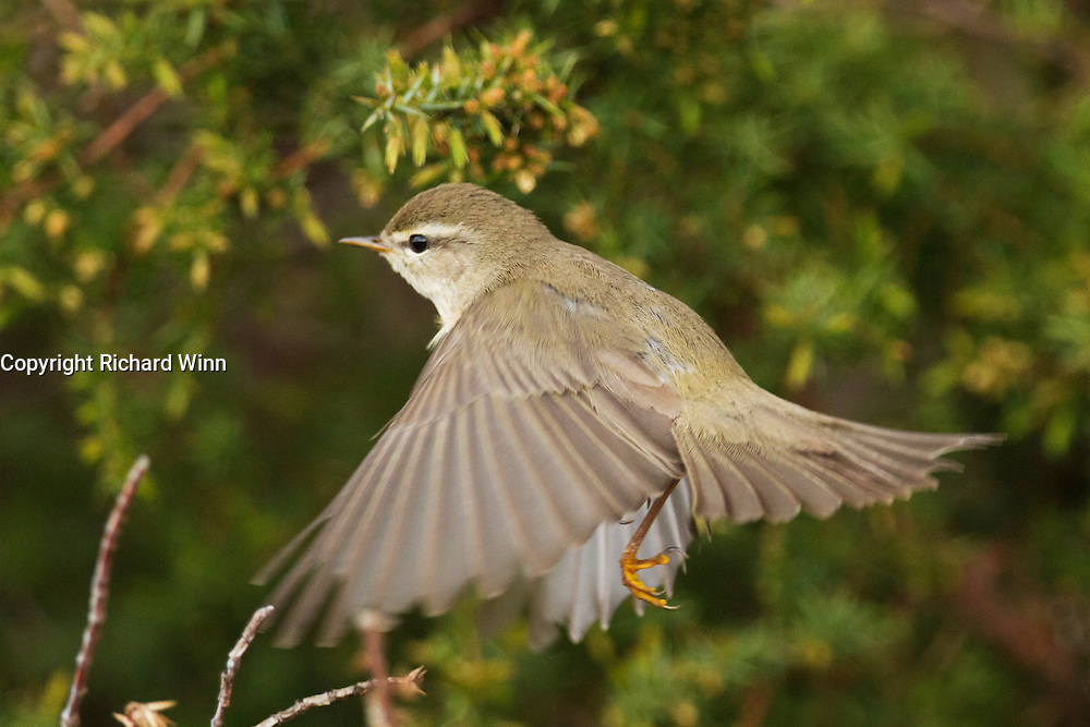 Willow warbler flying up from branch to catch insects from nearby gorse.