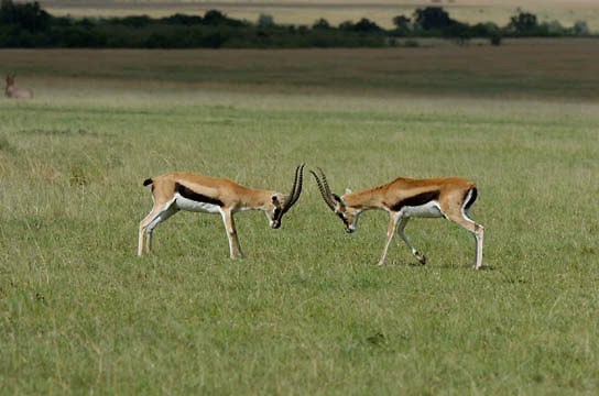 Thomson's Gazelle (Gazella rufifrons) Two fighting, standing off. Masai Mara National Park. Kenya. Africa.