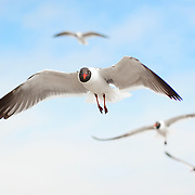 Seagull in Flight on North Padre, Texas Coast
