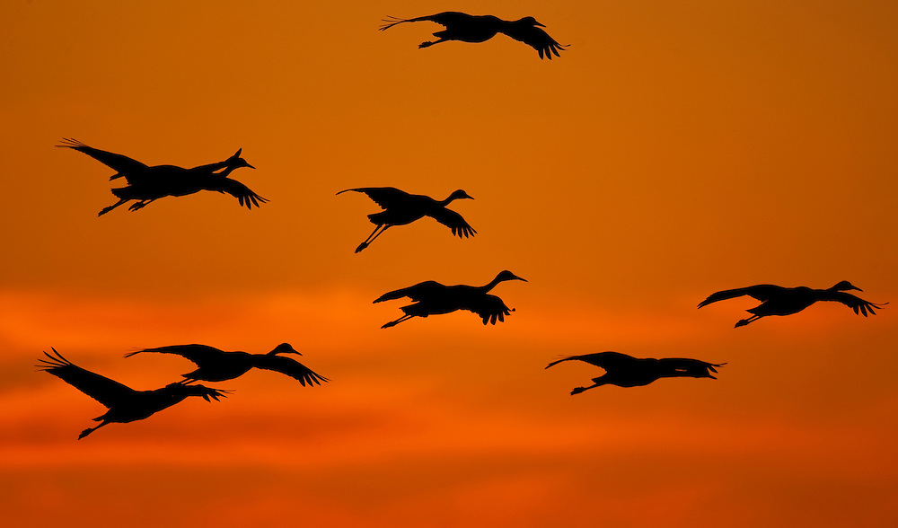 Sandhill Cranes fly into the Platte River in Nebraska at sunset on their annual migration north.