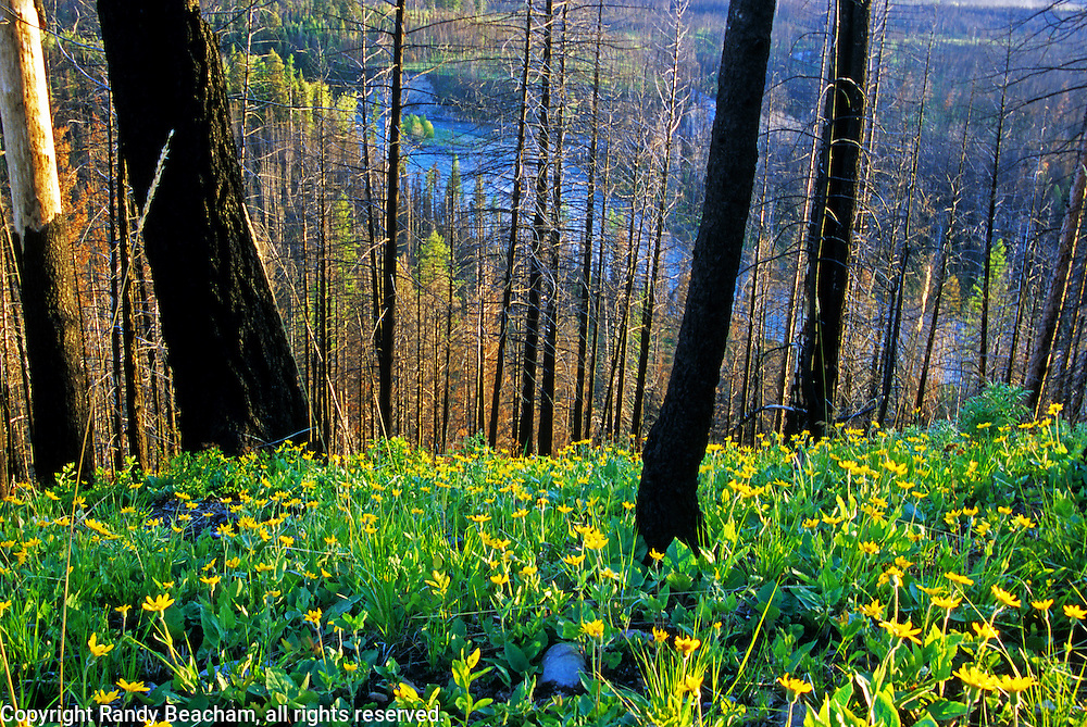 Wildflowers above the North Fork Flathead River after wildfire. Glacier National Park, northwest Montana.
