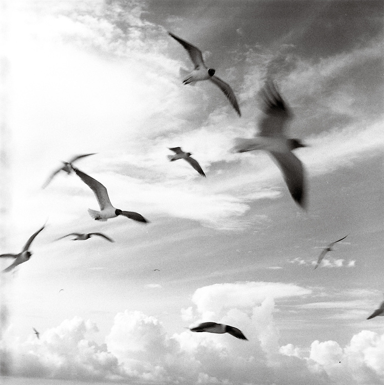 Laughing Gulls follow the Shrimp Boats and their catch | 2006