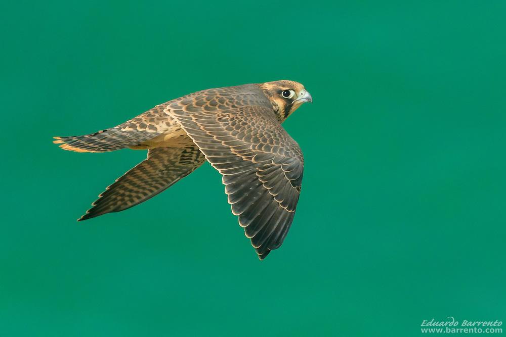 Peregrine falcon (Falco peregrinus). Juvenile bird of prey flying over the green sea, seen at eye level