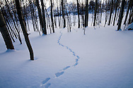 Animal tracks in deep snow show the  pattern of a predator  hunting.  Many predators use hearing to catch their pray that live below the snow during winter.