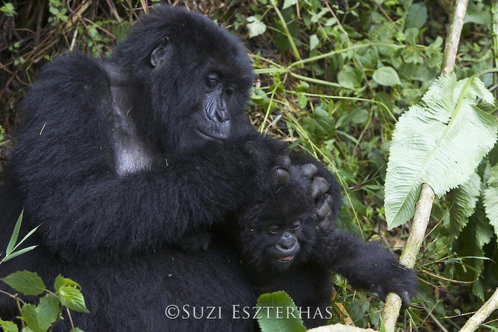 Mountain Gorilla<br /> Gorilla gorilla beringei<br /> Mother grooming 10 mos old infant<br /> Parc National des Volcans, Rwanda