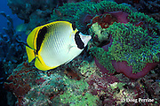 spot-nape butterflyfish, Chaetodon oxycephalus, and giant anemone, Heteractis magnifica, Maha Thila, near Helengeli, Maldives ( Indian Ocean )