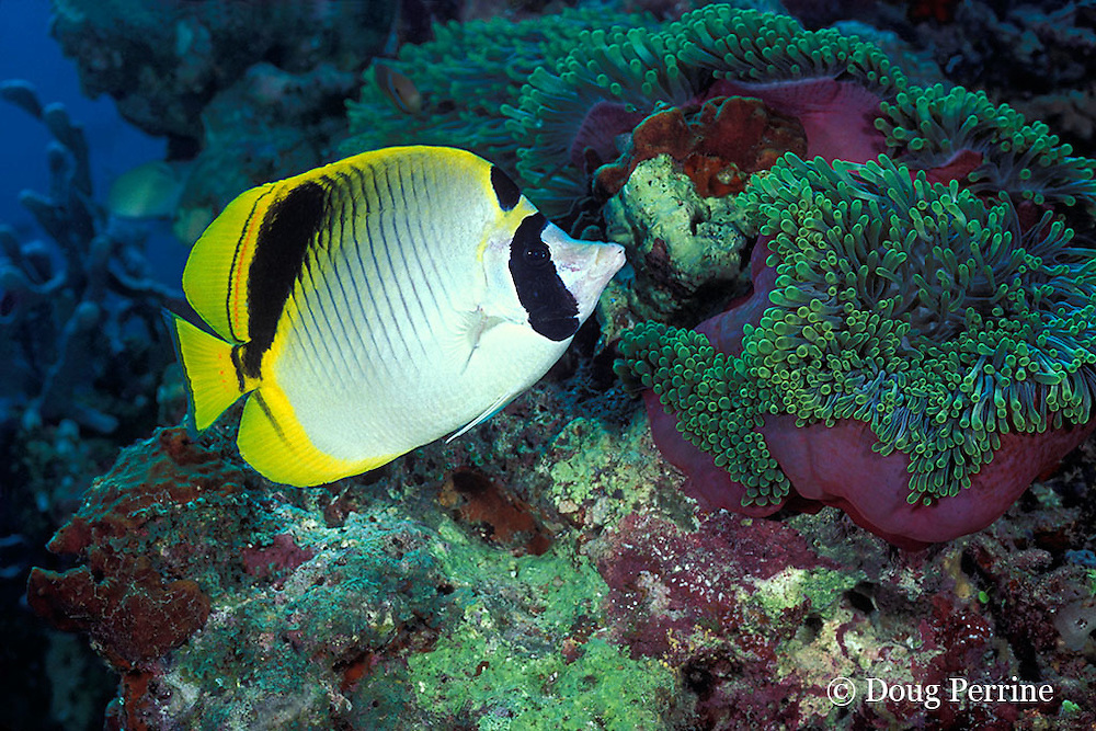 spot-nape butterflyfish, Chaetodon oxycephalus, and giant anemone, Heteractis magnifica, Maha Thila, near Helengeli, Maldives ( Indian Ocean )