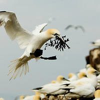 A Gannet brings debris to build a nest  on Bass Rock in the River Forth. Scotland, UK..Picture Michael Hughes/Maverick ..THE GANNET is Britain's largest seabird with a wing span of just under two meters. From January onwards 140,000 Atlantic gannets return to the Bass Rock, the world's largest single rock gannet colony. Returning to the same mate and the same nest every year, they spend most of the year on the Bass, until the end of October, when the last chicks set out on their long journey down to the West Coast of Africa, with the adults returning again in January.....