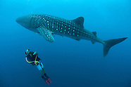 Whalesharks of Cenderawasih Bay, Indonesia