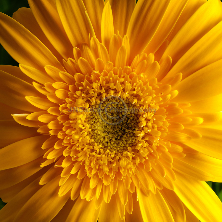 Extreme close-up of vibrant yellow gerbera daisy