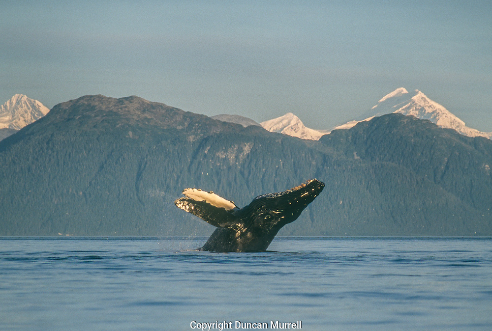 """This was a breaching whale that left an unforgettable visual imprint in my memory for all time. I was camped in Icy Strait where there are usually many humpback whales, and the scenery is incredible, with a fantastic backdrop of the massive Fairweather Mountain Range bordering Glacier Bay. It was a beautiful, flat-calm, sunny morning and one whale had got off to a flying start. It was breaching repeatedly and I got off to an early start to try to catch up with it on the other side of Icy Strait. <br /> Unfortunately by the time I got there it had stopped breaching, as always seemed to happen. I continued to paddle my kayak on that beautiful peaceful morning, gliding across the mirror-calm sea with the sound of the water dripping from my paddles amplified by the stillness. Then suddenly without any warning I could """"feel"""" something erupting out of the water nearby so I spun around trying to locate the source of the disturbance. Glancing over my shoulder my view of the rising sun was eclipsed by the massive silhouette of the whale leaping out of the water, just a few metres behind my kayak; it had an auro of the sun's rays around it like a religious icon. My jaw dropped with astonishment, and my heart must have skipped a few beats; and before I could react to protect myself or my camera there was a massive thud when the whale struck the water and I was drenched by a whale-sized, icy cold shower.<br /> I suddenly felt very small and vulnerable in my kayak. I had experienced the whales so many times at close quarters, but it's not until you can actually view one in its entirety hovering above you that you can really appreciate the scale of a whale!"""