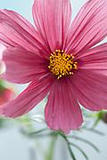 Cosmos bipinnatus 'Antiquity' - garden cosmos