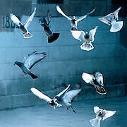 Spanje, Barcelona, 15-1-2004Duiven vliegen op. Associatie vrijheid, losmaken, ontstijgen, vogels, duif, vleugels, gevleugeld, onschuld, boekomslagFoto: Flip Franssen/Hollandse Hoogte