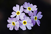 Forget-Me-Not blossoms (Myosotis scorpioides)<br />Tobermory<br />Ontario<br />Canada