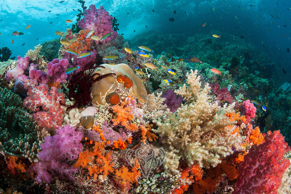 Crescent Wrasses and Soft Corals<br /> <br /> Shot in Indonesia