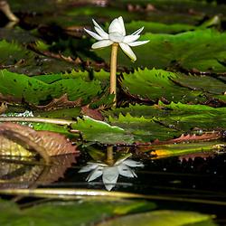 """""""Flor aquática (Plantae) fotografado em Linhares, Espírito Santo -  Sudeste do Brasil. Bioma Mata Atlântica. Registro feito em 2016.<br /> <br /> <br /> <br /> ENGLISH: Aquatic flower photographed  in Linhares, Espírito Santo - Southeast of Brazil. Atlantic Forest Biome. Picture made in 2016."""""""