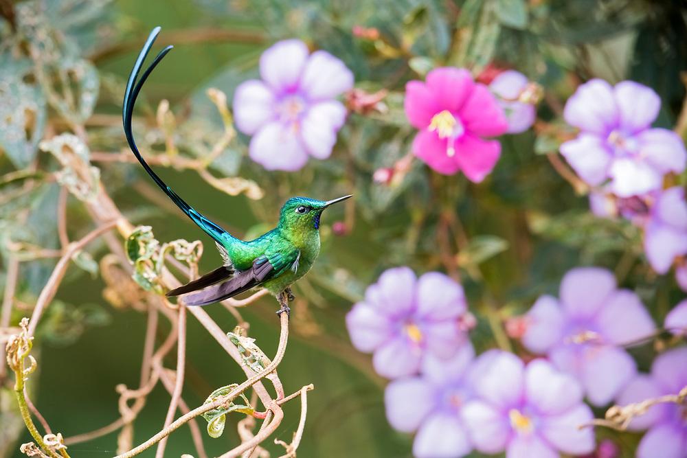 Long-tailed Sylph, Aglaiocercus kingii, male, Napo, Ecuador, hummingbird, montane, Andes, Andean