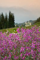 Fireweed flowers on the flank of Whistler Mountain, Whistler, BC Canada