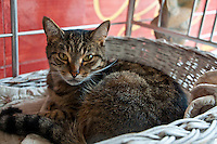 Close-up of a French cat sitting in a wicker basket.