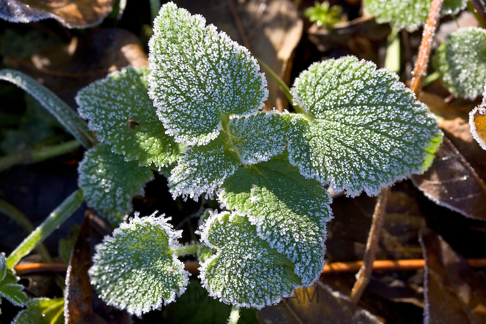 Hoar frost covered Nettle leaves, Oxfordshire, UK